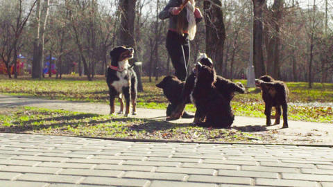 Woman playing with bernese shepherd dog puppies Stock Video Footage