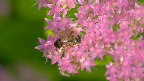 Macro of bee gathering pollen. Top view Footage