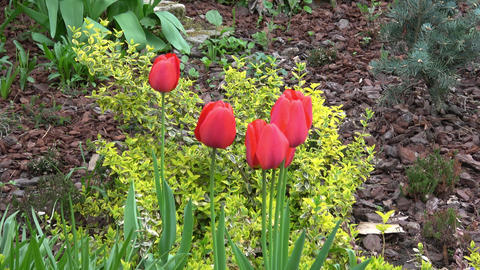 Red tulips bloomed on a flower bed in spring Footage
