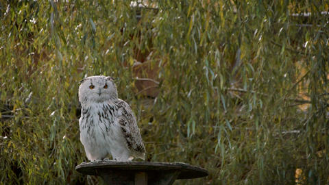 Great white Siberian owl flying in Slo Motion Footage