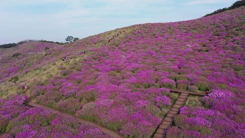 Aerial Drone shot Hwangmaesan mountain and beautiful Royal Azalea Flower on Spring season at Archivo