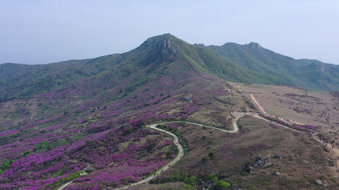 Aerial Drone shot Hwangmaesan mountain and beautiful Royal Azalea Flower on Spring season at Footage