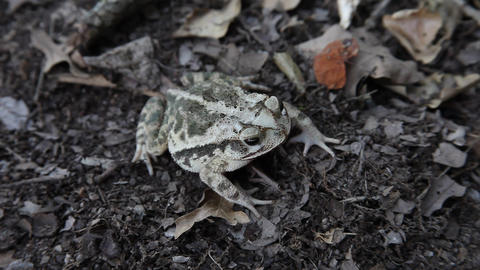 Toad in leaves ビデオ