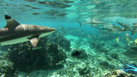 Sharks - Blacktip Reef Shark, French Polynesia Tahiti -Carcharhinus melanopterus Live Action