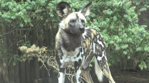 The African wild dog (Lycaon pictus) Footage