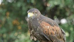 Harris's hawk. Parabuteo unicinctus. Bird of prey Stock Video Footage