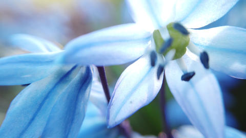 Blue Scilla flowers in garden. First spring flowers swing in wind on sunny day Live Action