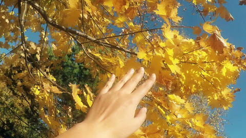 Autumn scene. Hand touching autumn leaves with sun beam over blurred background Footage