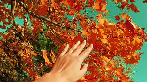 Autumn scene. Hand touching autumn red maple leaves with sun beam over blurred Footage