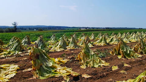 Amish Tobacco Fields being Harvest Live Action