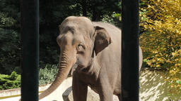 Asiatic elephant behind bars is swinging. Symptoms of depression in animals Live Action