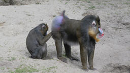 Mandrill Monkey daily hygiene. Mandrillus sphinx Live Action