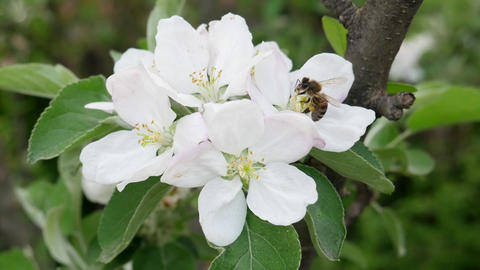 Bee Collects Nectar on Blossoming Apple Tree Flower Footage