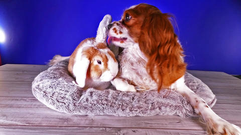 Dog and rabbit puppy vs lop bunny Funny cute animals together Live Action