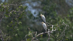 Cattle Egrets On Tree In Lake stock footage