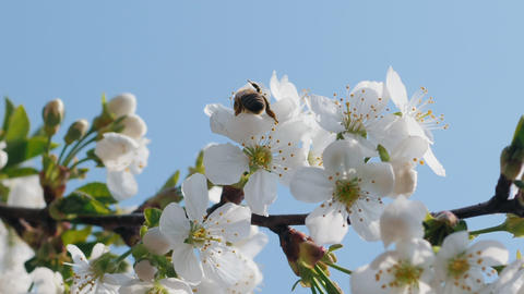 Bee collecting pollen on cherry blossom Footage