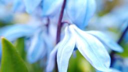 Field with blue flowers Scylla Footage