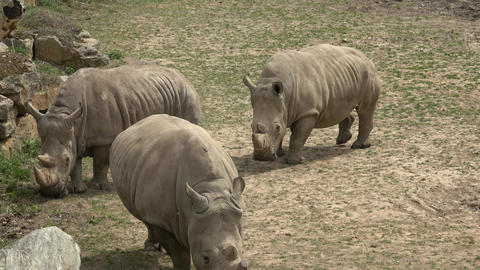 Southern white rhinoceros (Ceratotherium simum simum). Wildlife animal. Critically endangered animal Live Action