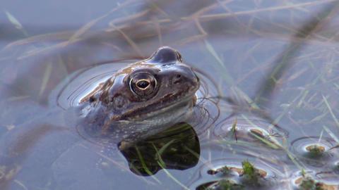 European common frog (Rana temporaria) Archivo