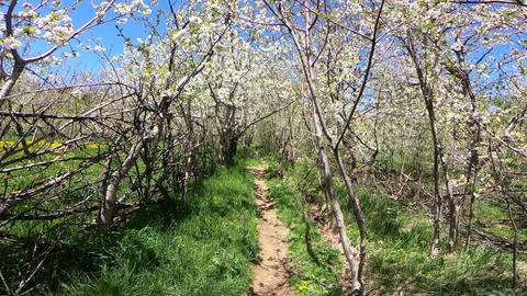 Crossing trees filled with spring bloom Footage