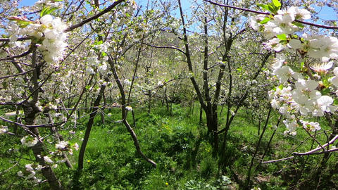Crossing the blossoms ビデオ