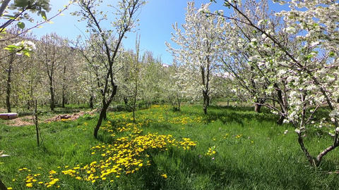 Crossing trees filled with spring blooms Footage