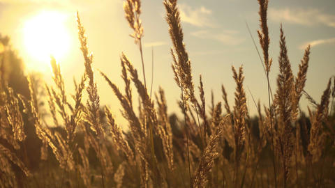 Grass in magical sunset light Footage