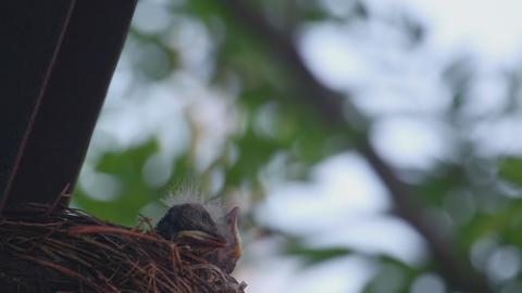 Fieldfare thrush chicks Footage
