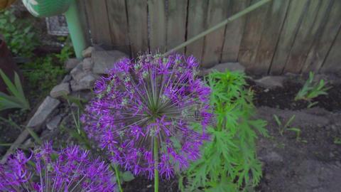 Bee on onion flowers Footage