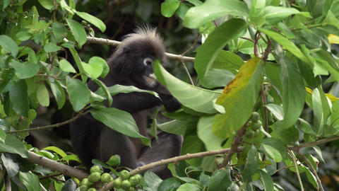 Dusky Leaf Monkey Eating Leaves Portrait Malaysia 4k Wildlife Nature Footage