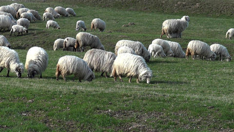 Sheep to pasture located on a plain green grass 02 Footage
