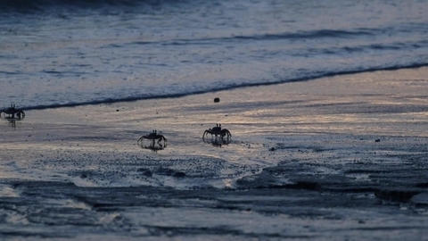 Beach Ghost Crabs Running on Tropical Beach Sand after Sunset Footage