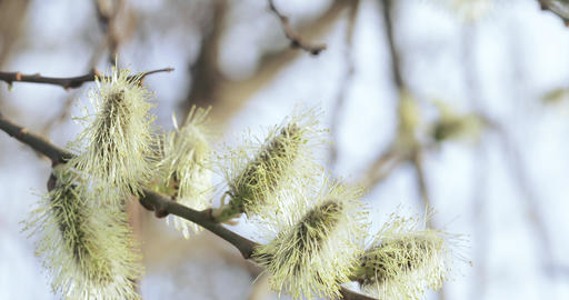 Pussy willow full of pollen Footage