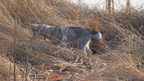 West Siberian Laika hunts in dry grass Live Action