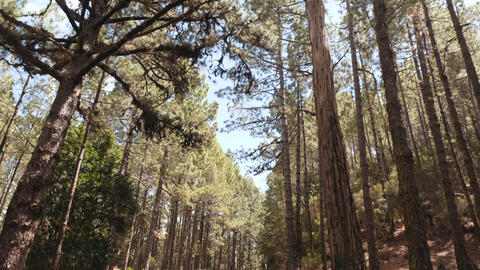 POV driving through a pine forest in mountains. Point of view driving,view from Footage