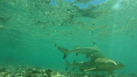 Sharks - Blacktip Reef Shark, French Polynesia Tahiti -Carcharhinus melanopterus Archivo