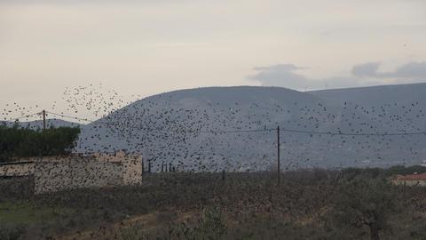 Flock of Birds 3 Footage