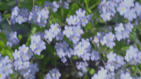 flying over forget me not flowers meadow, spring summer inspirational aerial Footage