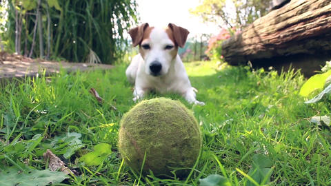 Playful Jack Russell Terrier dog waving his tail and waiting for a tennis ball in a garden on a Footage