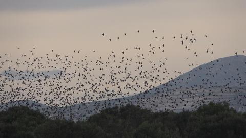 Flock of Birds 4 Footage