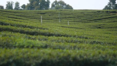 Green tea plantation, beautiful nature landscape Footage