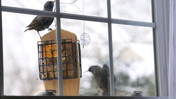 European starling birds fighting over suet cake feeder by window eating Footage