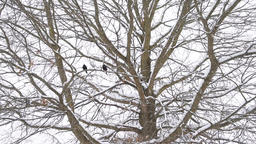 European starling two birds perched far on bare tree branch during winter snow Footage