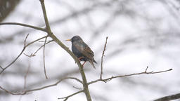 European starling bird perched on bare tree branch during winter snow Footage