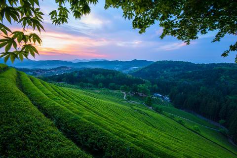 Green tea plantations in South Korea Photo