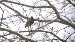 European starling two birds perched on bare tree branch during winter snow Footage