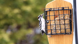 Suet cake bird feeder and downy male red woodpecker male eating flying Live Action