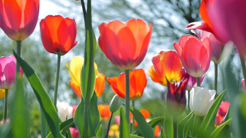 Tracking shot along beautiful tulips Archivo