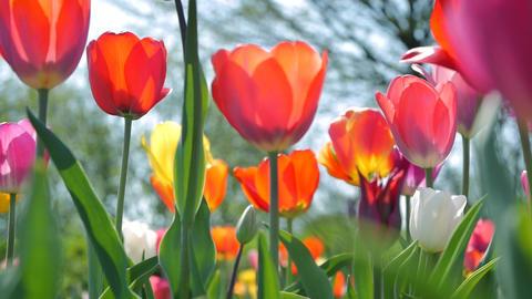 [alt video] Tracking shot along beautiful tulips
