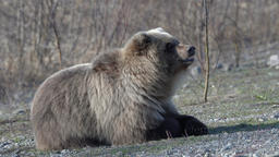 Hungry wild Kamchatka brown bear lies on stones, looking around Footage